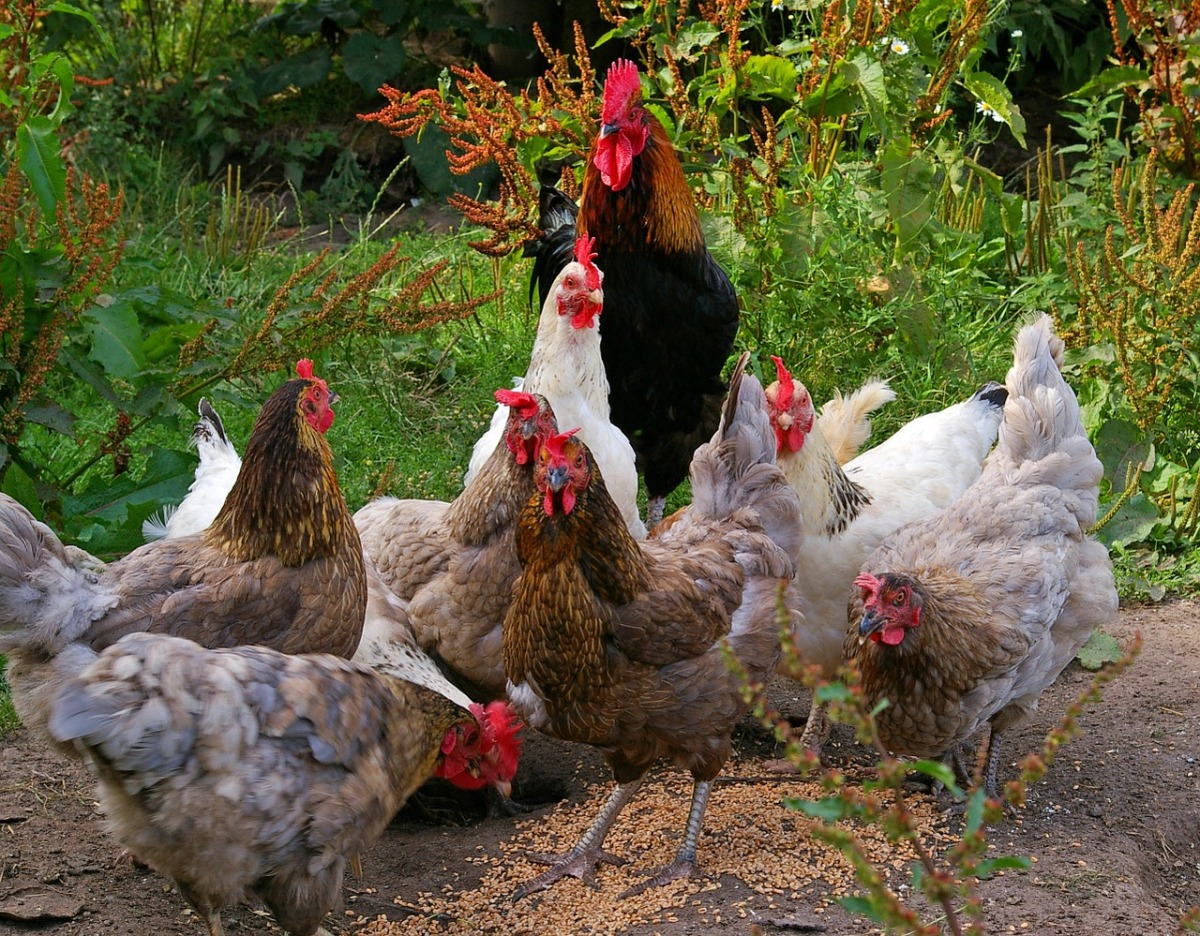 7 Benefits of owning chickens or chooks.